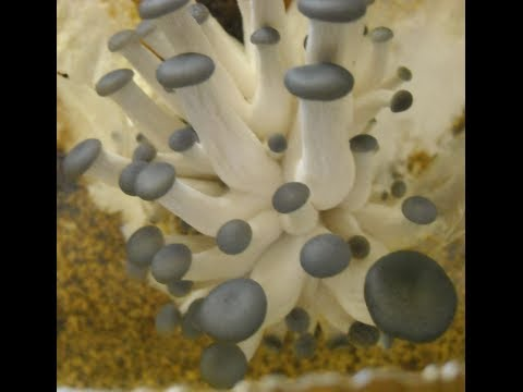 Growing  Pearl Oyster Mushrooms at Home