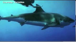 Freediver swims with Great White Shark!