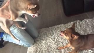 Angry Chihuahua's (slowmotion)