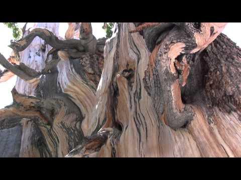 Bristlecone Pine Tree Ranger Minute