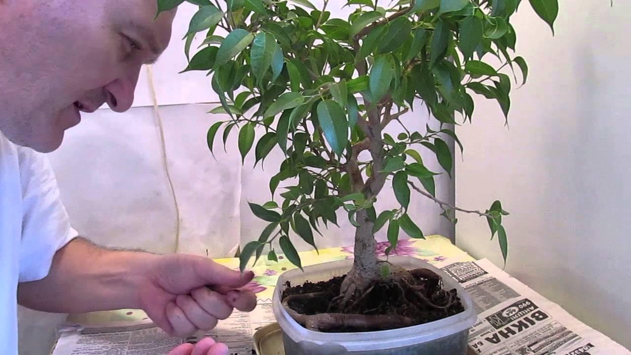 Как из фикуса сделать дерево 942