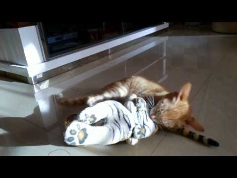 pillu(our cat) playing with tiger
