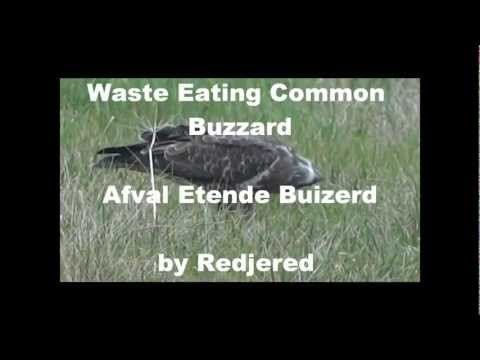 Waste eating Common Buzzard (Buteo Buteo) afval etende Buizerd