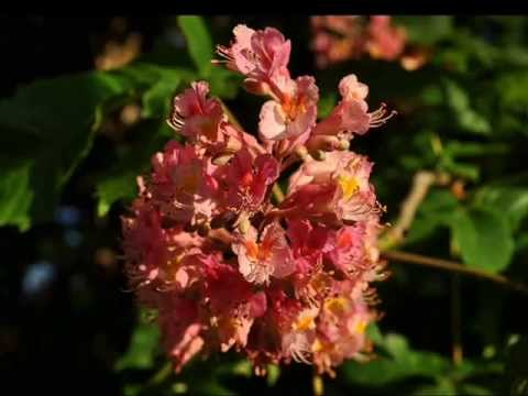 Aesculus x carnea   Trees For Sale