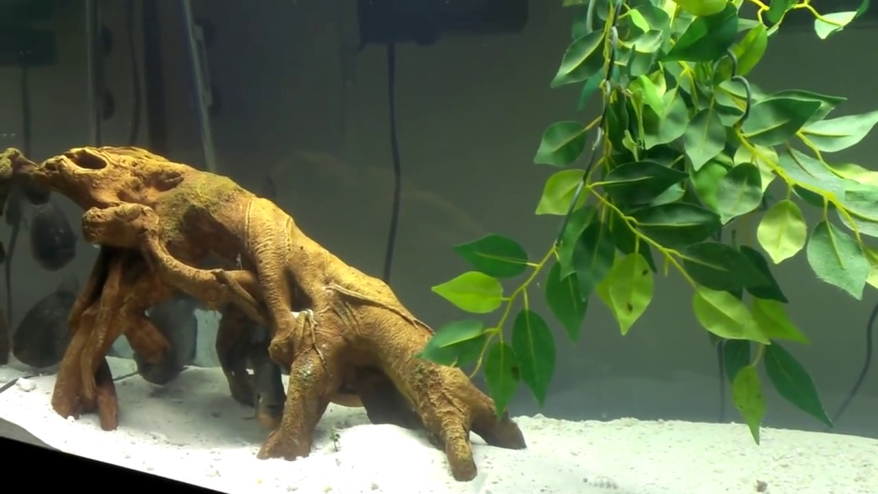 Red Belly Piranha Fish Tank Red Belly Piranha Tank