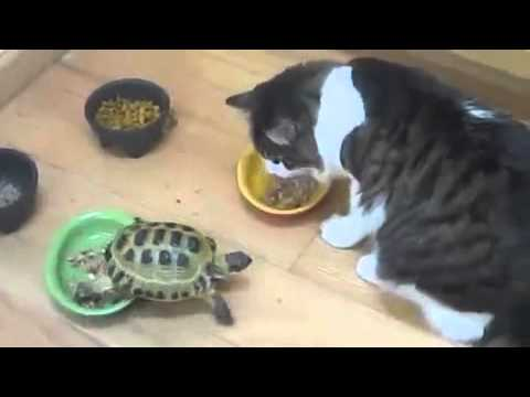 Turtle attacks Cat