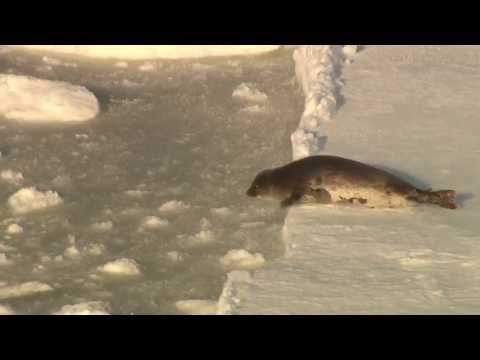 Silver Lining: Baby Seal Likely Survives the Slaughter