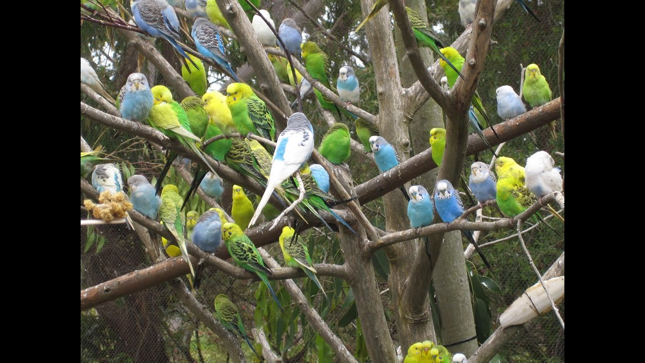 Budgerigar Parakeets Budgies Budgerigar Parakeet Singing