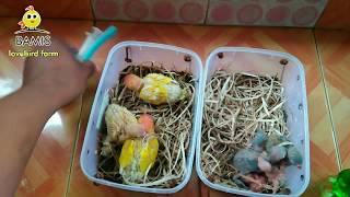 Cara meloloh lovebird bagi pemula umur 1 hari 3-7-10-12 hari    BAMIS LOVEBIRD farm
