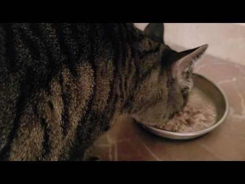 Feline Observational  - Tacy Cat Enjoys Her Breakfast