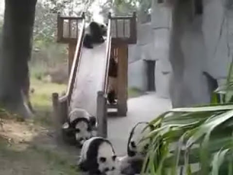 Osos panda en la resbaladilla