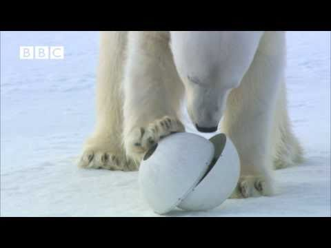 Polar Bear Plays & Smashes Spy Cameras - Polar Bear Spy on the Ice - Narrated by David Tennant