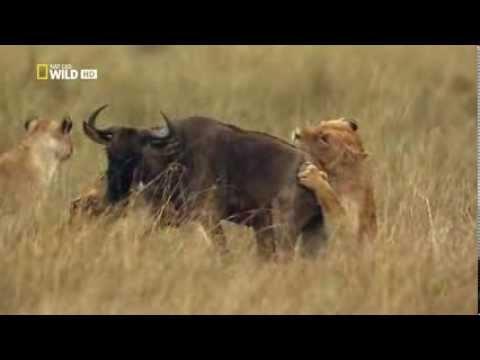 Охота хищников. Львицы атакуют антилопу