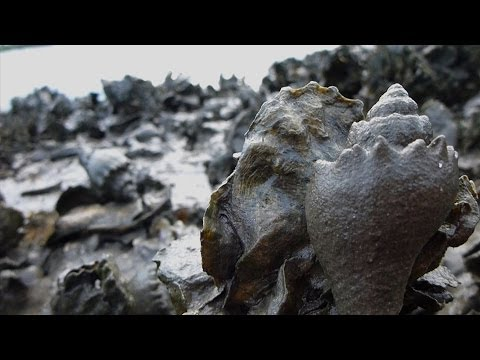Florida Oyster Reefs Under Siege by Snails: In the Grass, On the Reef
