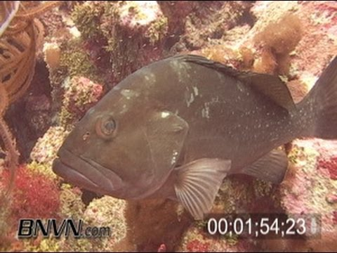 7/23/2005 Red Grouper In The Sherwood Forest Coral Reef Footage, Dry Tortugas National Park