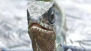 Casque-headed Lizard (Helmeted Iguana) at Kahka Creek Nature Reserve
