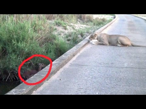 Lion Kills Impala Giving Birth | Kruger National Park