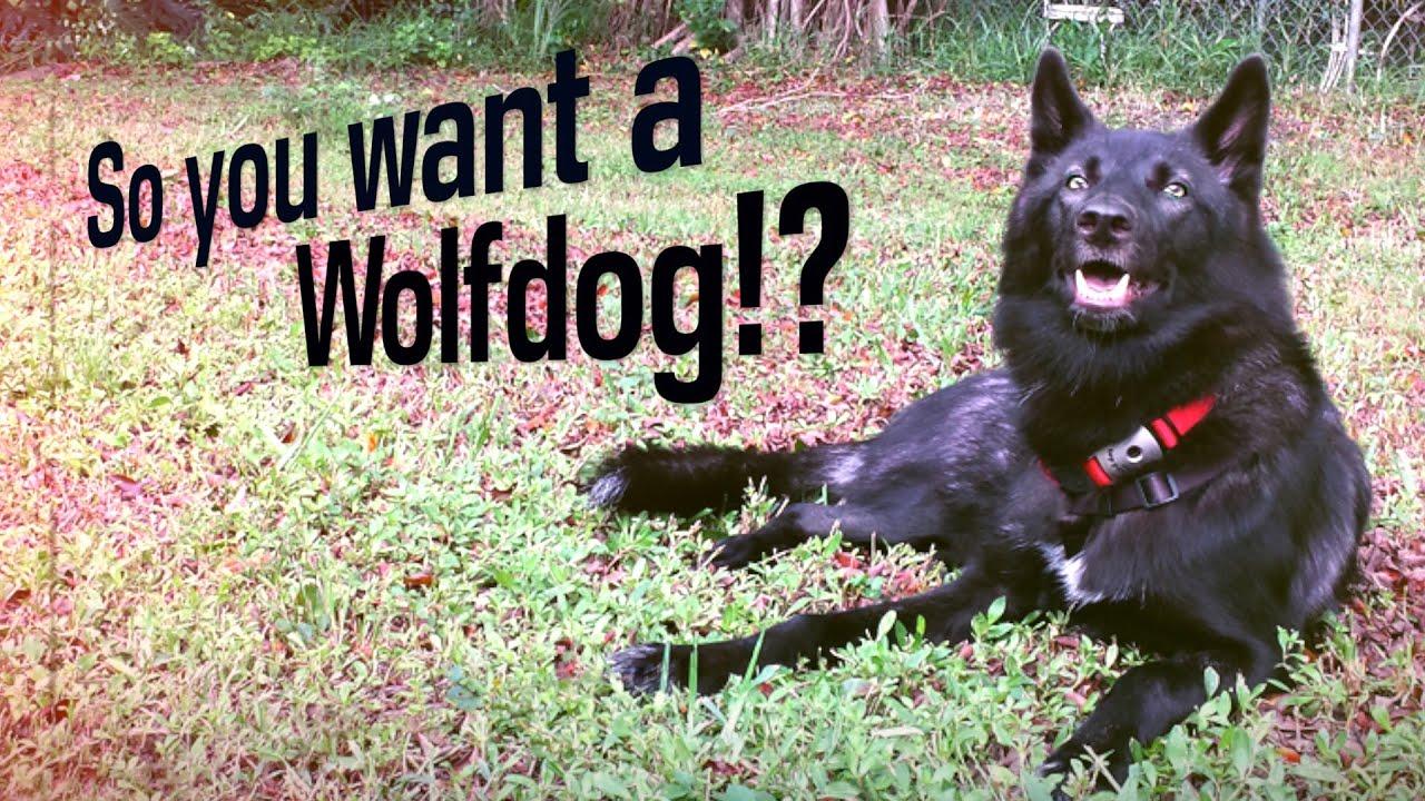 Wolf dog pet
