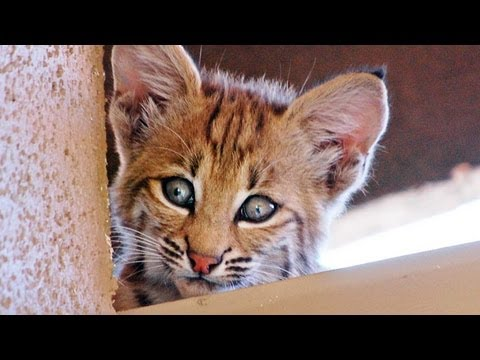 Bobcat Mom & Kittens Living on Roof!