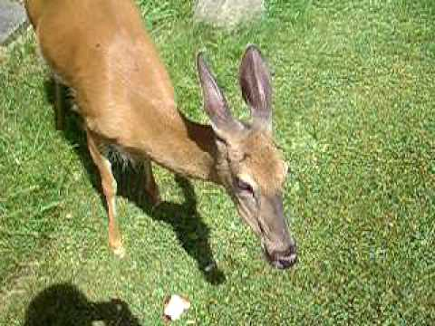 Man calls wild deer, it comes & he feeds it