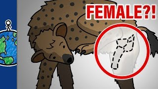 Why Do Female Hyenas Have Pseudo-Penises?!