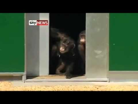 Lab chimps set free to see the sunlight for the first time after 30 years spent in lab