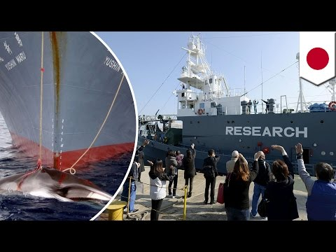 Japan sends slaughter ships to hunt and kill 333 minke whales for 'scientific research' - TomoNews
