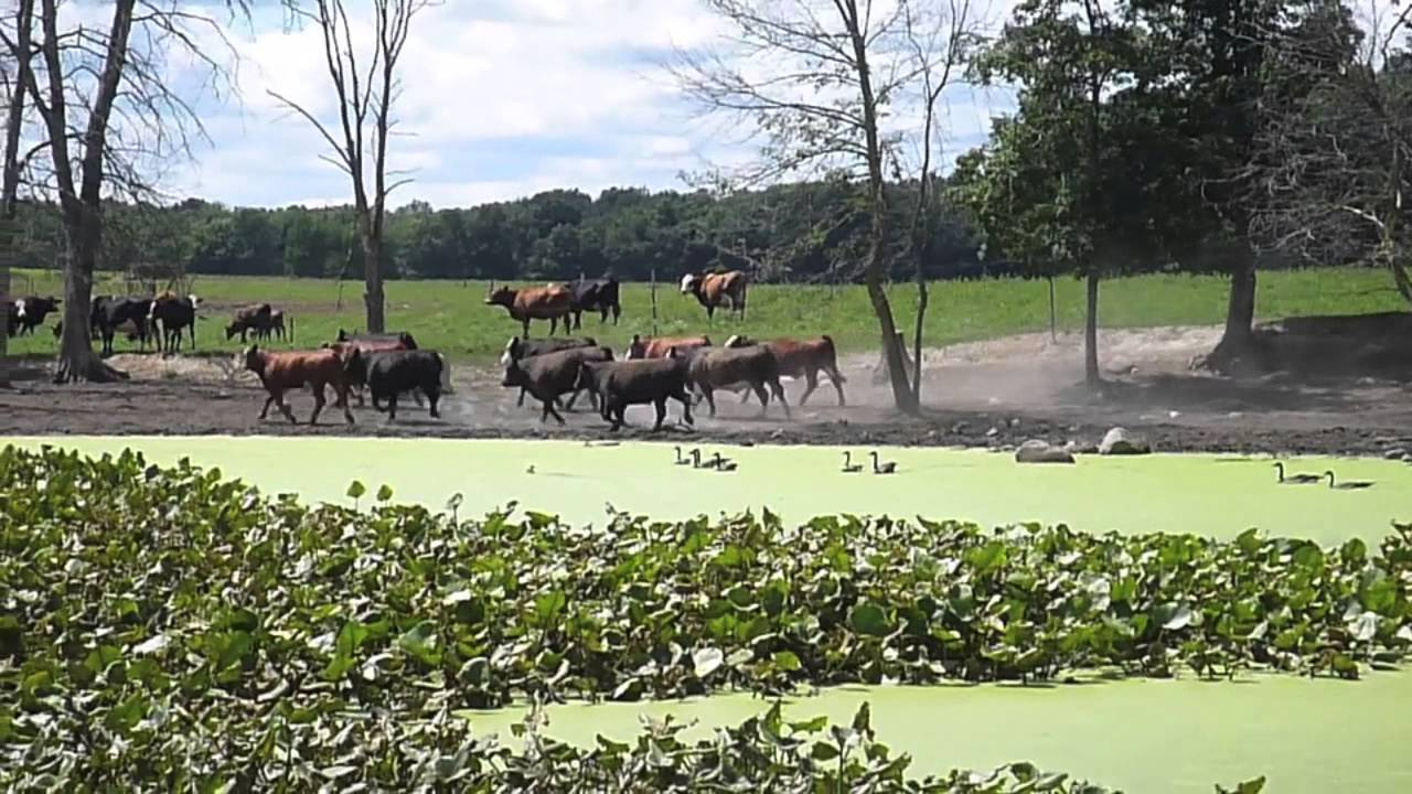 Cows Running Cow Walking Cows Running Dog