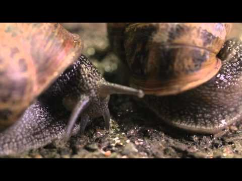 The Sex Life Of A Snail - Wildlife Documentary video