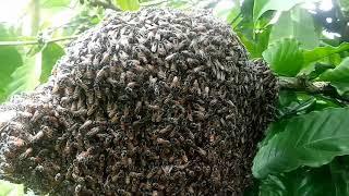 Phát Hiện Tổ Ong ruồi : Cuộc Sống Nông Dân