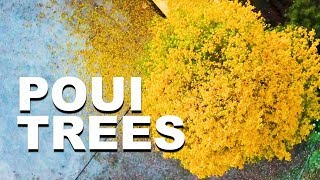 Poui Trees in Bloom | Trinidad and Tobago