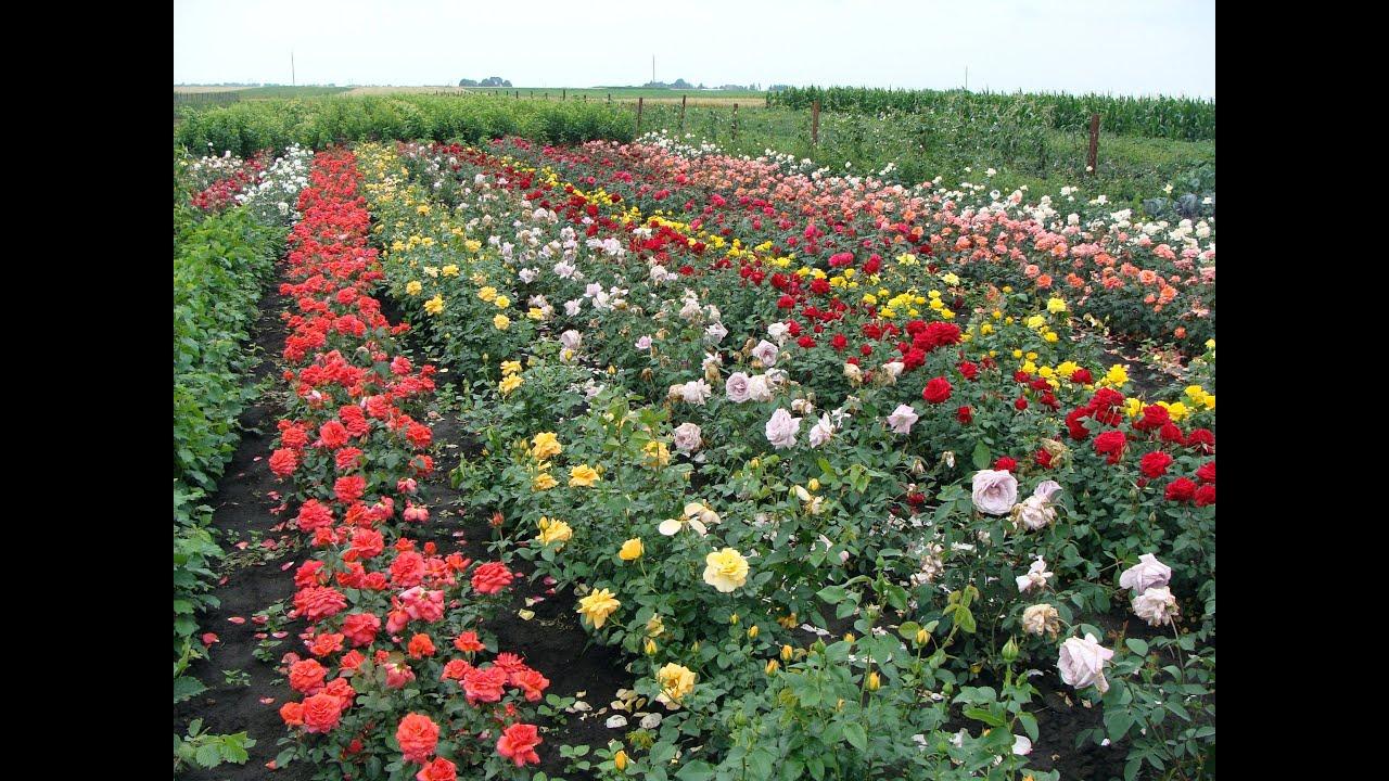 Выращивание роз в подмосковье 29