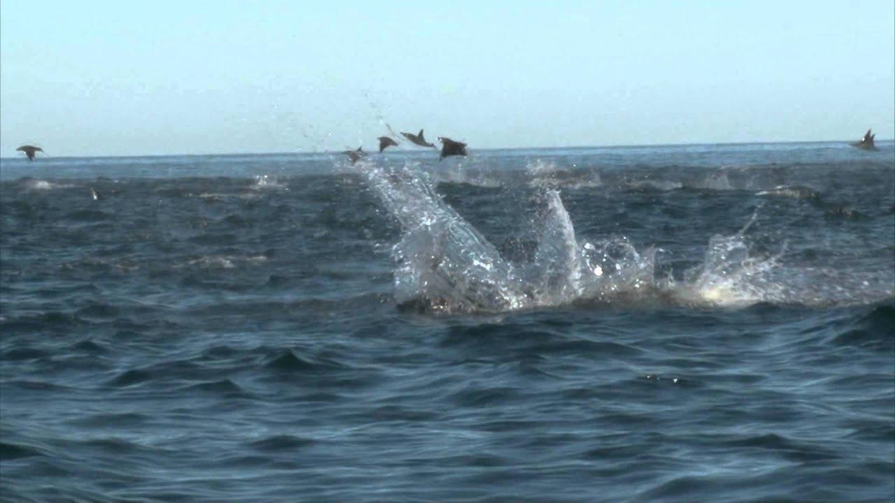 Manta Ray Manta Rays Jumping