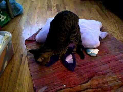 My Cat Having Sex With A Pillow Pet video