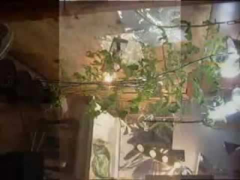 8 FT INDOOR CHERRY TOMATO PLANTS VIDEO COCO COIR GROW AEROGARDEN HYDROPONIC