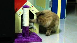Chinchilla cat is playing!