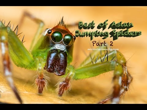 (HD) Olympus Tough Mirrorless Macro : Best of Asian Jumping Spiders #2 (With Bonus Footage)