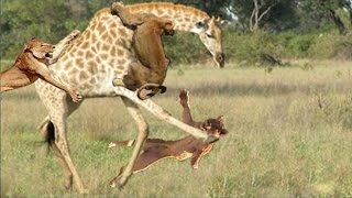 [the animal world] Animal Fights Attacks Real Fight lion vs Giraffe   crocodile vs buffalo,hippo#161