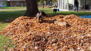 Dogs Playing In Autumn Leaves Compilation 2018 - Fun Pool