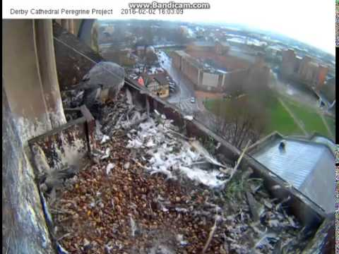 Derby UK - Female in nest. Male arrived with prey, She has dinner, departure-2016 02 02 15 44