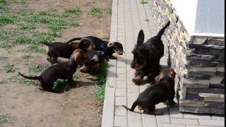 Wire standard dachshunds puppies with their  mother Raydachs Dolly