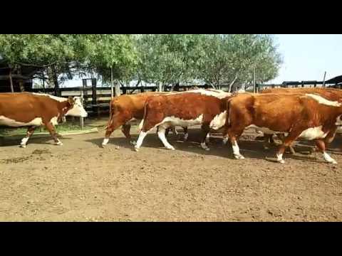 32 Vacas De Invernada En Artigas