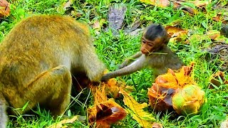 Baby Lori and Amari Eating Palm Fruit |They Have No Thing To Eat Today| They Find food Themselves