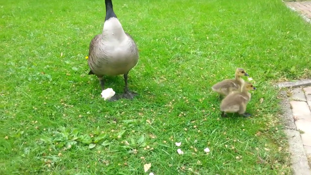 Hannah the goose lost 2 babies