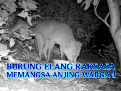 VIDEO BURUNG ELANG