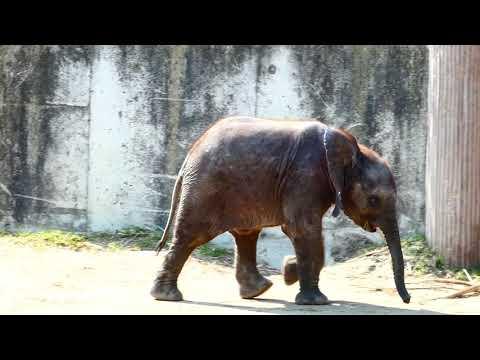 Baby Kibali & Mama Numbi spielen. Afrikanischer Elefant (Loxodonta africana) Lumix dc-fz82 Superzoom