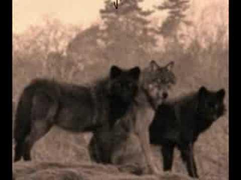 Serbian wolves