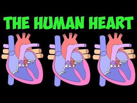 Heart Song- the human heart
