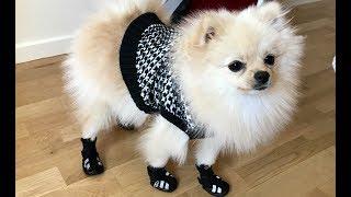 Funny Videos whit Puppy white Pomeranian  | Bingo Dog Song - Fun Video for Kids