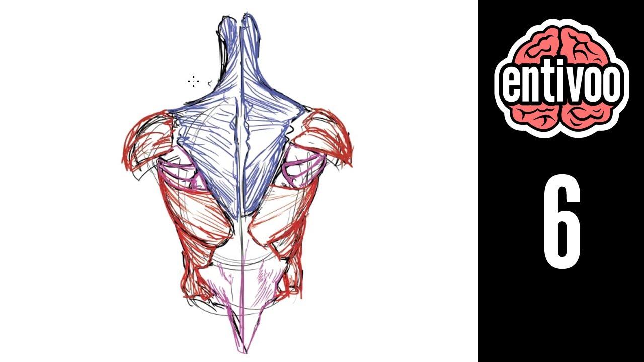 Los músculos de la espalda de la persona la anatomía de la foto ...